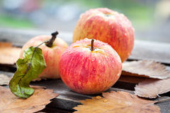 Wet fresh red apples in the garden Royalty Free Stock Images