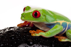 Wet Frog Stock Photos