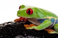 Wet Frog Stock Photos