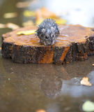Wet and frozen hamster sitting on a piece of wood Stock Photo