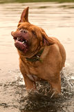 Wet funny dog shaking off white swimming Stock Images