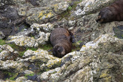 Wet fur seals royalty free stock images