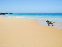 Wet furry dog walking on the beach Stock Images