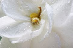 Wet Gardenia Stock Image