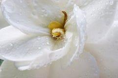 Wet Gardenia. Raindrops on the Gardenia flower Stock Image