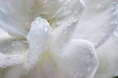 Wet Gardenia. Raindrops on the Gardenia flower Stock Photos