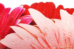 Wet gerber petals Stock Photography