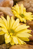Wet Gerbera Daisy Flower and River Rocks Stock Images