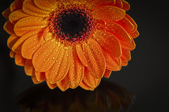 Wet Gerbera Flower. A picture of a wet orange gerbera flower with reflection Royalty Free Stock Photography