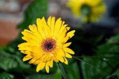 Wet gerbera flower in sunshine Royalty Free Stock Images
