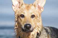 Wet German Shepherd Stock Photos