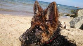 Wet German Shepherd Puppy. On the beach Stock Photography