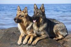 Wet German Shepherds Royalty Free Stock Photography