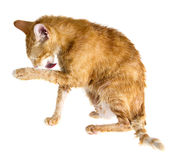 Wet ginger cat licking its paw. On a white background Royalty Free Stock Photography