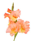 Wet gladiolus flower Stock Photo