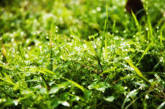 Wet glistening grass. On a sunny day Stock Photo