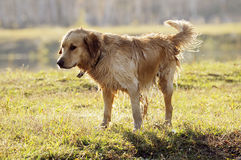 Wet Golden retriever Stock Image
