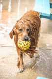 Wet golden retriever Stock Photography