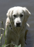 Wet Golden retriever Stock Images