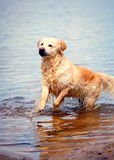 Wet Golden Retriever Dog In Lake Royalty Free Stock Photos