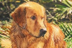 Wet Golden Retriever dog with sad and apprehensive look. Looking to the right, on nature royalty free stock photo