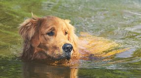 Wet Golden Retriever dog swimming on waters of a lake Stock Images