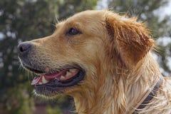 Wet golden retriever headshot Stock Images