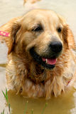 Wet golden retriever in pond Stock Image