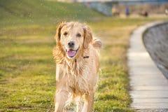 Wet golden retriever Stock Image