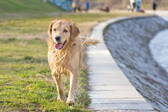 Wet golden retriever Royalty Free Stock Images