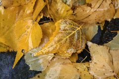 Wet golden yellow birch leaves Stock Photography