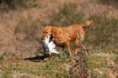 Wet GR Golden Retriever with pigeon Stock Images