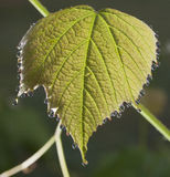 Wet grape leaf Stock Images