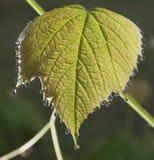 Wet grape leaf Stock Images