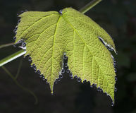 Wet grape leaf Stock Image