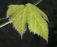 Wet grape leaf Stock Image