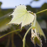 Wet grape leaf Stock Photos