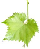 Wet grape leaves isolated Royalty Free Stock Photo