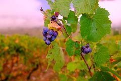Grapes after the rain royalty free stock photography