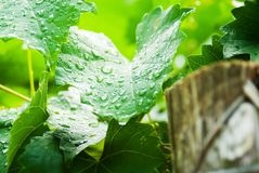 Wet Grapevines/Muscadines. Leaves of a muscadine plant wet with rain drops , fencepost in foreground Stock Photography
