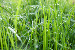 Wet grass. Early in the morning. Lots of water droplets pending from the grass leaves Stock Images