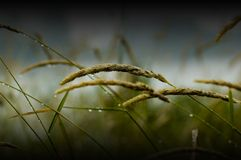 Wet grass. Close up of wet grass stalks bowing in the wind on a fall day Royalty Free Stock Image