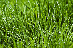 Free Wet Grass Stock Photography - 13475172