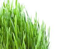 Wet grass. Fresh wet grass closeup obackgroundn white Royalty Free Stock Photos