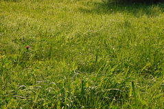 Wet grass. The image shows a wet meadow at morning Royalty Free Stock Images