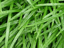 Wet grass. A close up of long grass with droplets of water Stock Images