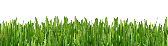 Wet grass. Green wet grass in the morning Royalty Free Stock Image