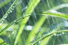 Wet grass. In the rain Stock Images