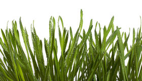 Wet grass. On white background Stock Images