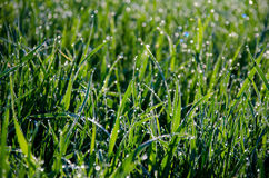 Wet grass back-lit by the rising sun Royalty Free Stock Photos